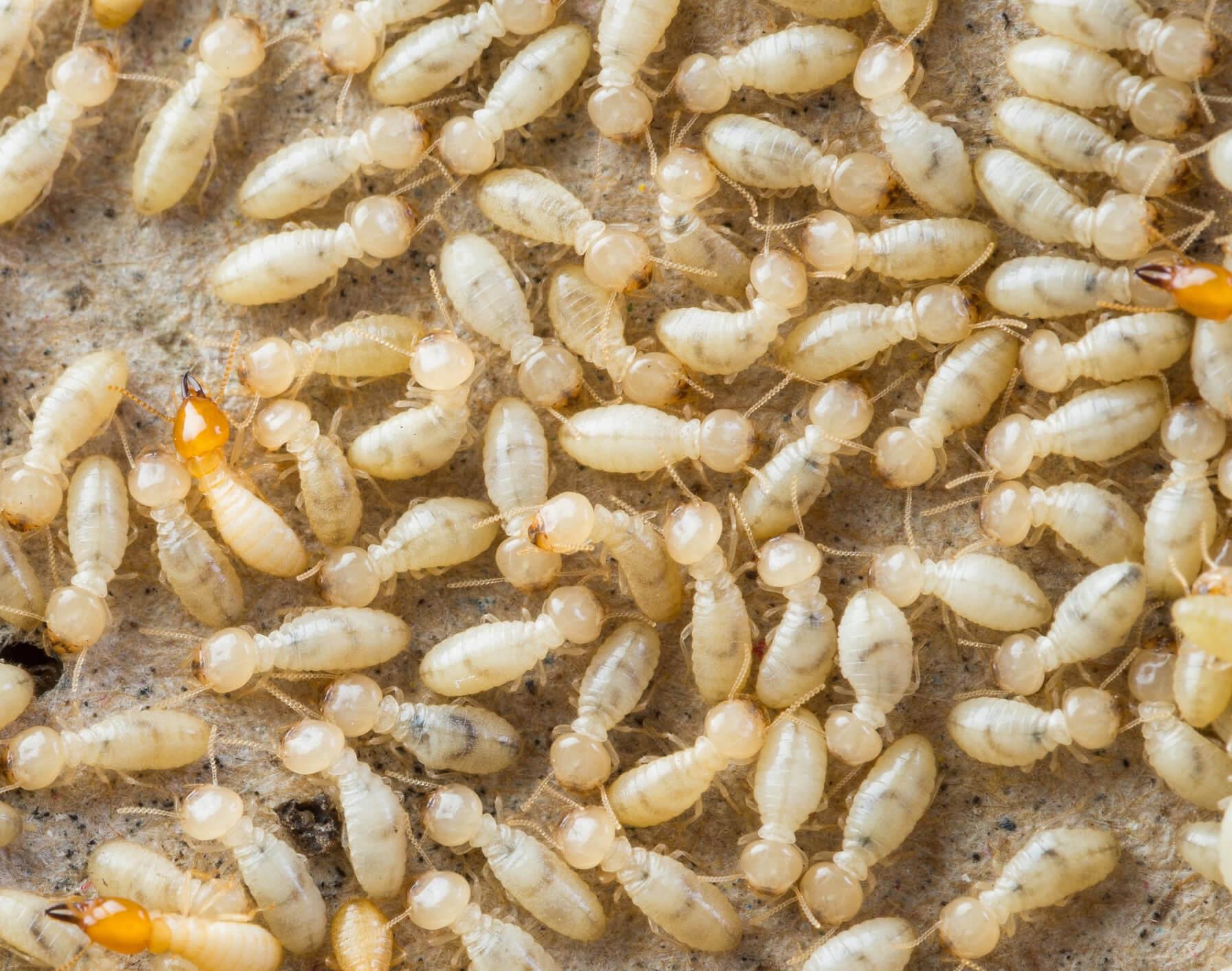 Gold Coast Termite Controller
